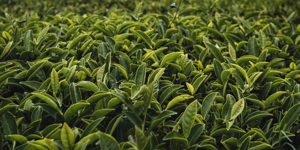 a guide to tea processing