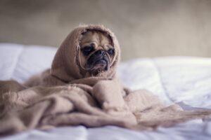 Stressed Pug